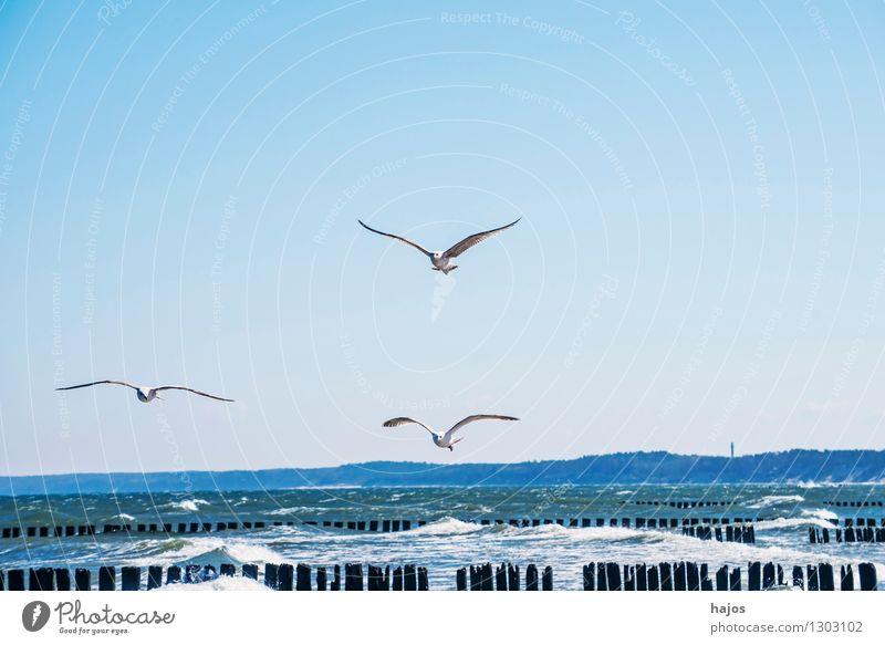Ostseestrand mit Buhnen und Möwen Freizeit & Hobby Ferien & Urlaub & Reisen Meer Vogel historisch Idylle Brandung Heringsmöwe Flug Gischt Stack Höft Kribbe