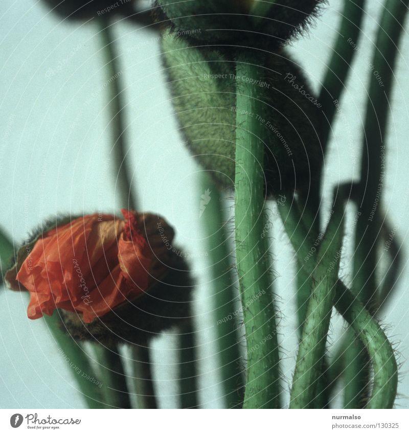 Mohnpower 2 grün schön rot Blume schwarz Gefühle Haare & Frisuren Blüte Frühling Kunst fliegen Wachstum Dekoration & Verzierung Küche einfach