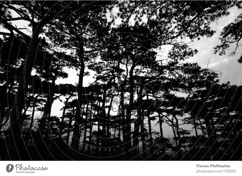 dark forest Natur weiß Baum schwarz Wald dunkel Kunst hoch Perspektive Europa Zweig Österreich Baumrinde Orientierung