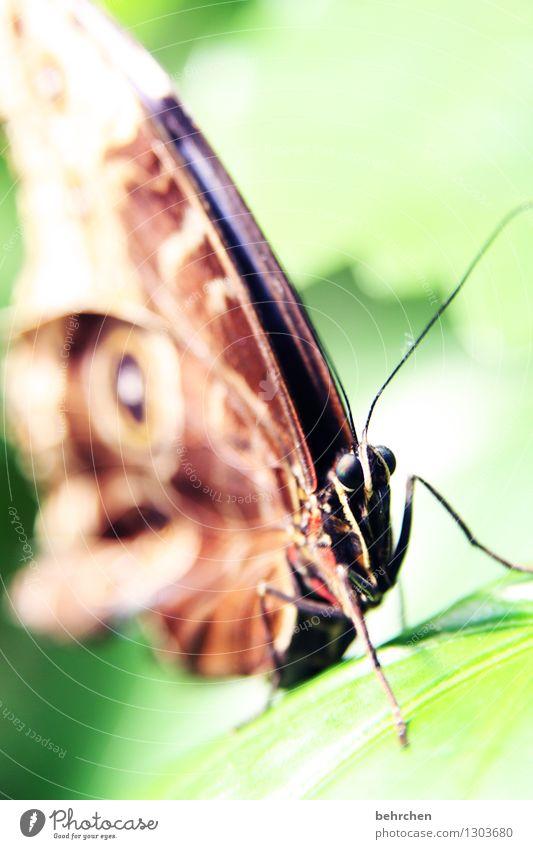 glubschi Natur Pflanze Tier Baum Sträucher Blatt Garten Park Wiese Wildtier Schmetterling Tiergesicht Flügel blauer morphofalter 1 beobachten Erholung fliegen