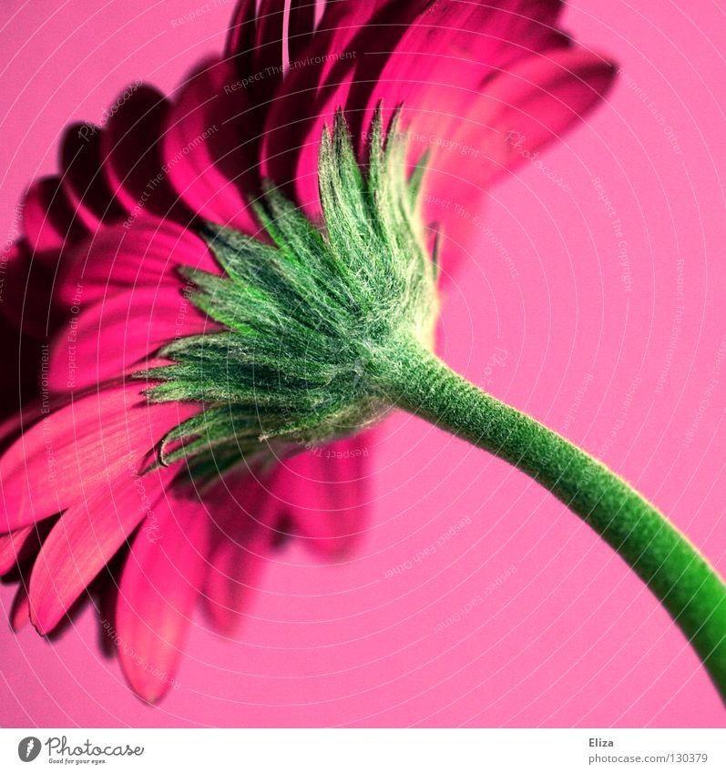 Nicht nur für Mädchen.. schön Blume grün Sommer Farbe Wand Blüte Frühling rosa Kitsch violett Dekoration & Verzierung Stengel Vase Blütenblatt Gerbera