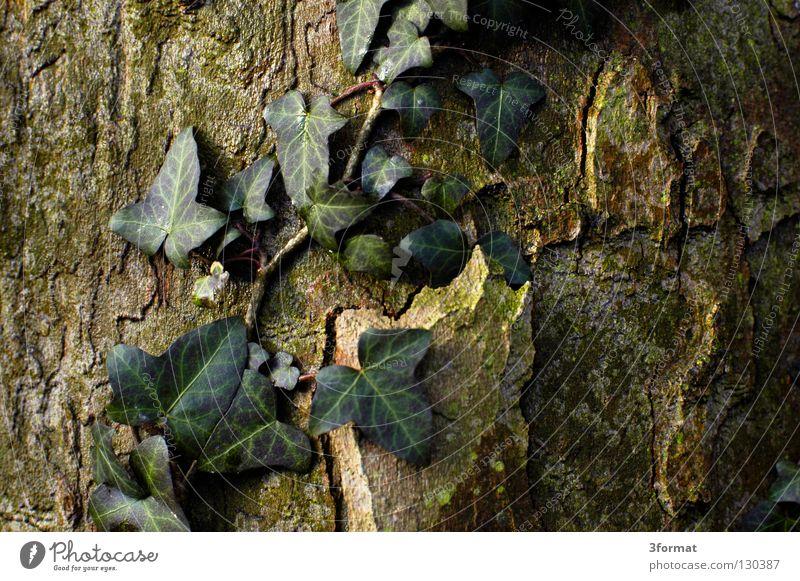 efeu Sträucher Baum Geäst Blatt Nieselregen feucht Trauer Märchen fantastisch träumen Verhext Einsamkeit trist November kalt Tau Morgen Nebel Herbst Winter