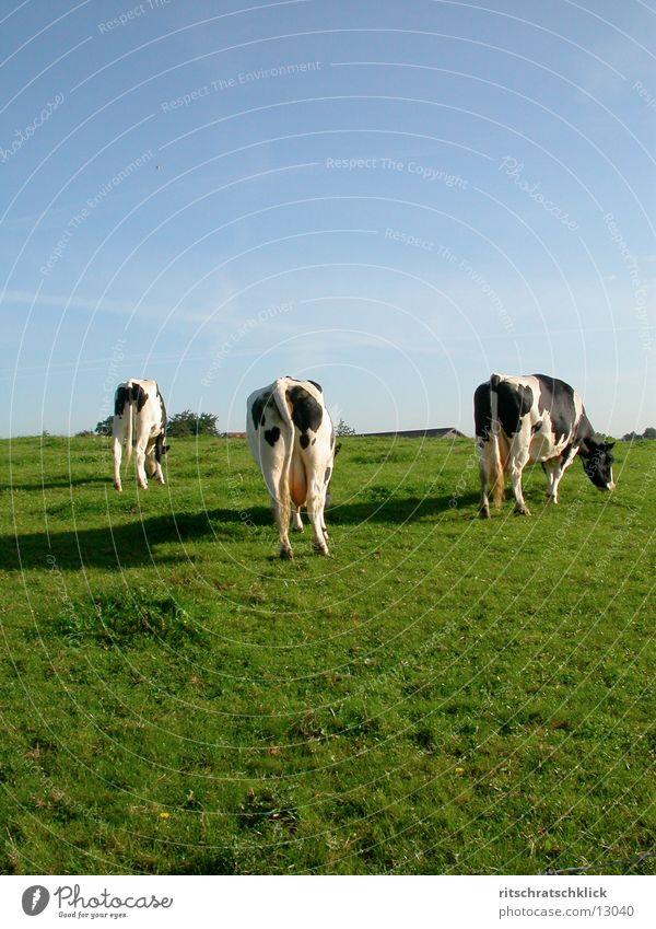 die drei damen vom grill oder auch zapfdingbats Wiese Kuh Euter
