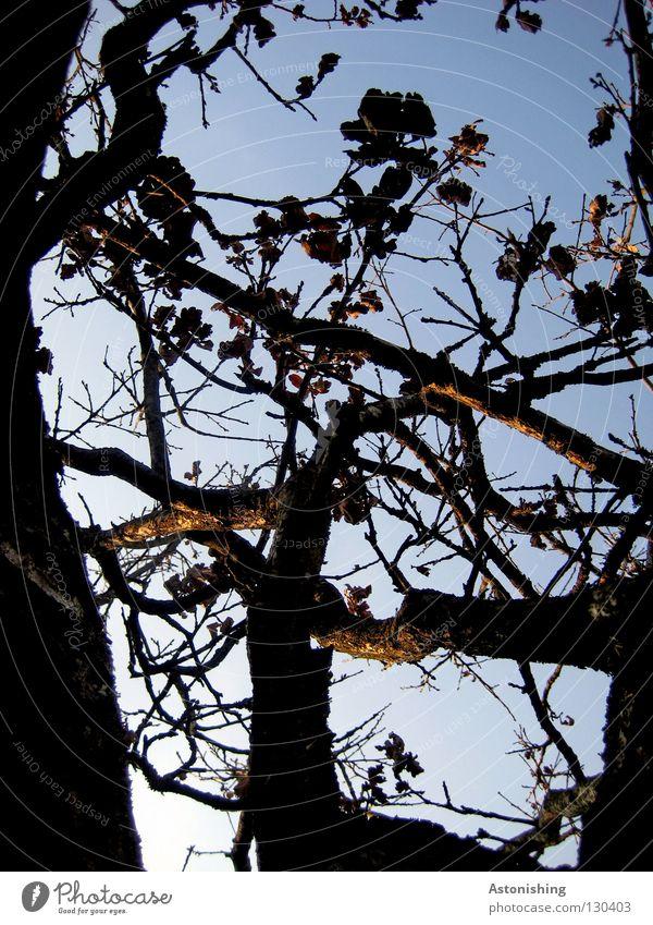 hoch hinaus Natur Pflanze Himmel Blatt Wachstum blau braun Perspektive Baumrinde Geäst Ast Zweig Kontrast Menschenleer