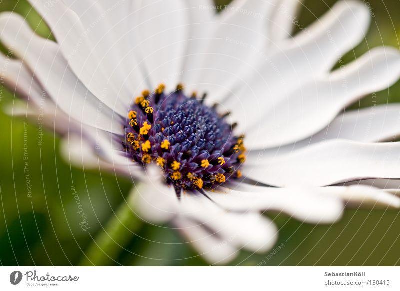 Weiße Schönheit weiß Blume blau gelb Blüte Frühling