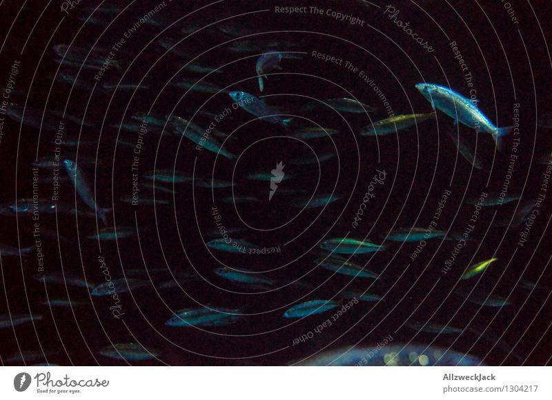 Fischschwarm III Tier Aquarium Schwarm Schwimmen & Baden dunkel blau schwarz Gesellschaft (Soziologie) orientierungslos unruhig durcheinander zappelig Farbfoto