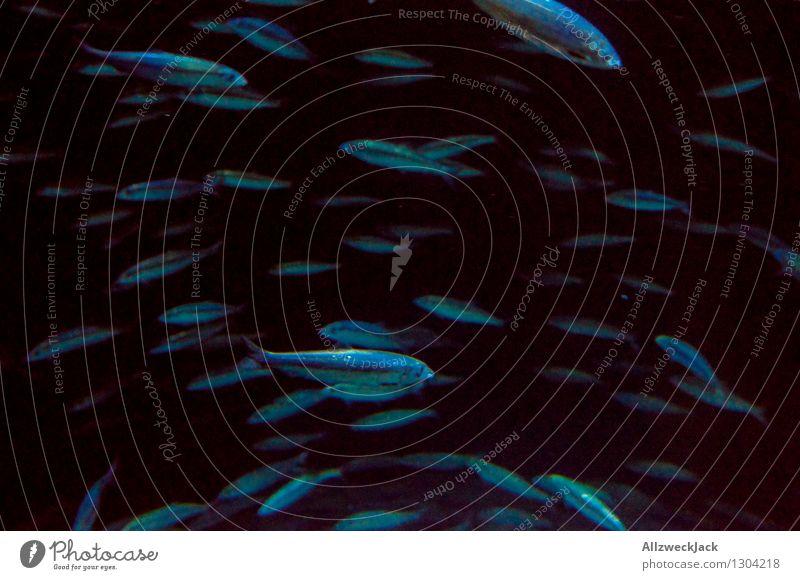 Fischschwarm II blau Tier dunkel schwarz Schwimmen & Baden Gesellschaft (Soziologie) durcheinander Schwarm Aquarium unruhig orientierungslos