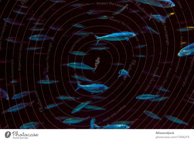 Fischschwarm I blau Tier dunkel schwarz Schwimmen & Baden Gesellschaft (Soziologie) durcheinander Schwarm Aquarium unruhig orientierungslos