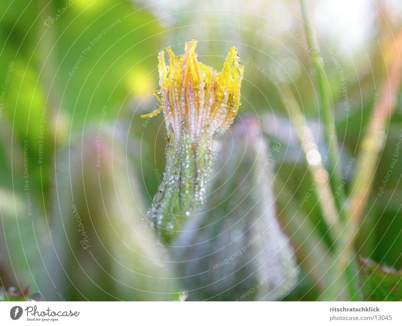 morgentau Blüte Tau