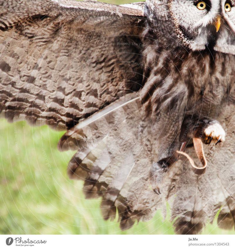 Bartkauz im Anflug Umwelt Tier Wildtier Vogel Tiergesicht Flügel Greifvogel Eulenvögel Kauz 1 Bewegung fangen fliegen Jagd frei stark wild braun grün Kraft