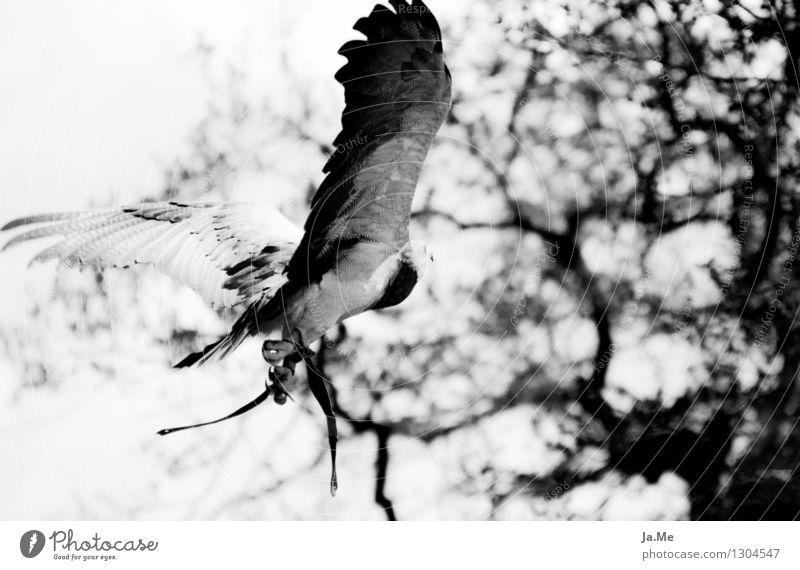 Schwarzweißer Blaubussard weiß Tier schwarz Freiheit fliegen Vogel Kraft Wildtier Geschwindigkeit Flügel Jagd Krallen Greifvogel Bussard Falkner