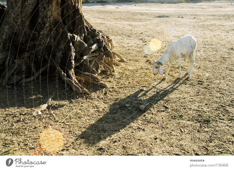 Ein großes Opfer Einsamkeit Afrika trocken Schaf Opfer Feigenbaum