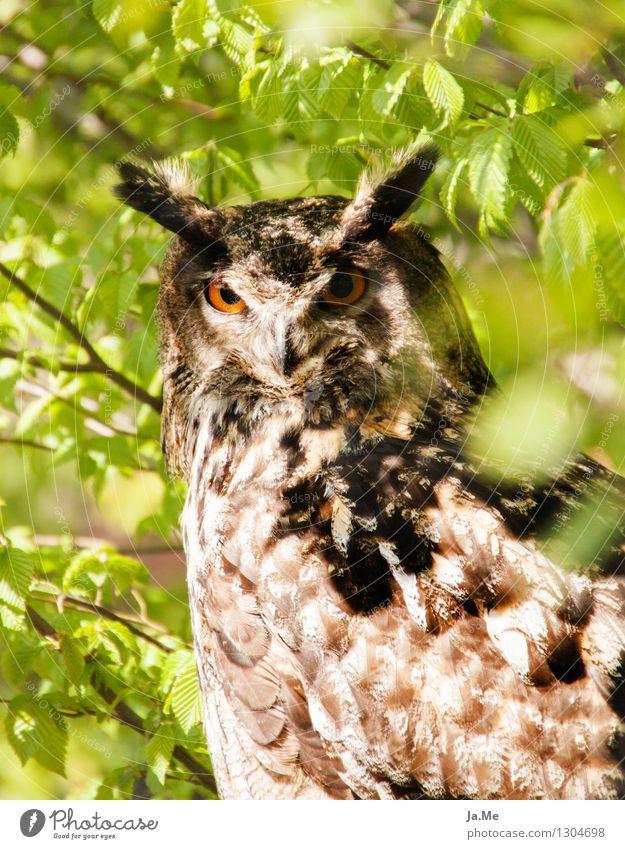 Huhu Uhu grün Tier braun Vogel Wildtier Flügel beobachten Tiergesicht Stolz klug Krallen Greifvogel Eulenvögel Uhu