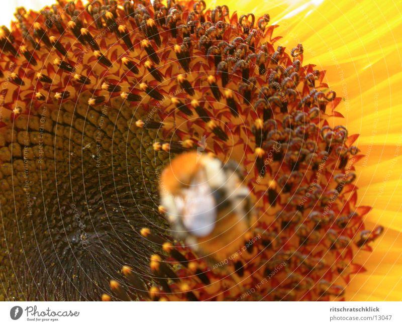 sonnenblume_02 Sonnenblume