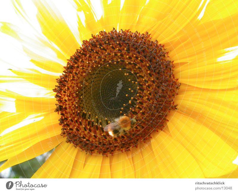 sonnenblume_03 Sonnenblume