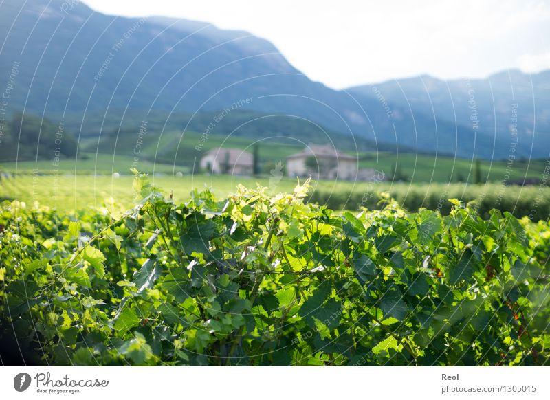 Weinberge Natur Landschaft Urelemente Sommer Schönes Wetter Pflanze Blatt Nutzpflanze Wildpflanze Hügel Berge u. Gebirge Südtirol Weingut Wachstum grün Farbfoto