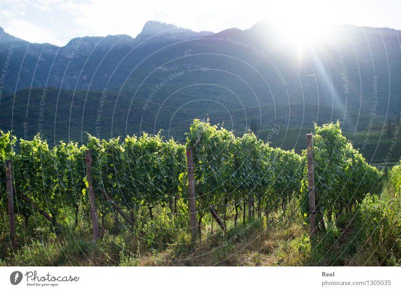 Weinberge II Natur Landschaft Erde Himmel Sonne Sonnenaufgang Sonnenuntergang Sonnenlicht Sommer Schönes Wetter Pflanze Blatt Hügel Berge u. Gebirge Südtirol