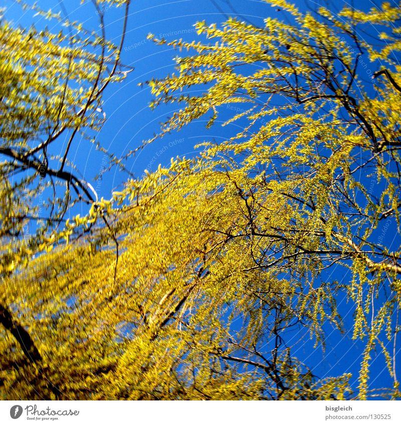 Trauerweide Himmel Baum grün blau Frühling Glück Traurigkeit Hoffnung Trauer Verzweiflung Weide Trauerweide