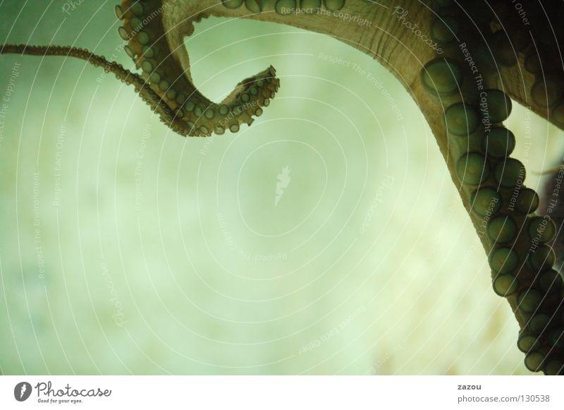 Meeresungeheuer Wasser Tier Fisch bizarr Aquarium Unterwasseraufnahme Tentakel Weichtier Ungeheuer Tintenfisch Octopus