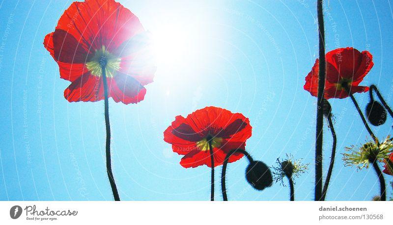 doch, es wird noch Sommer ! Mohn Klatschmohn rot Licht Sonnenstrahlen Frühling Blume Blüte hell-blau zyan Silhouette Gegenlicht Makroaufnahme Nahaufnahme