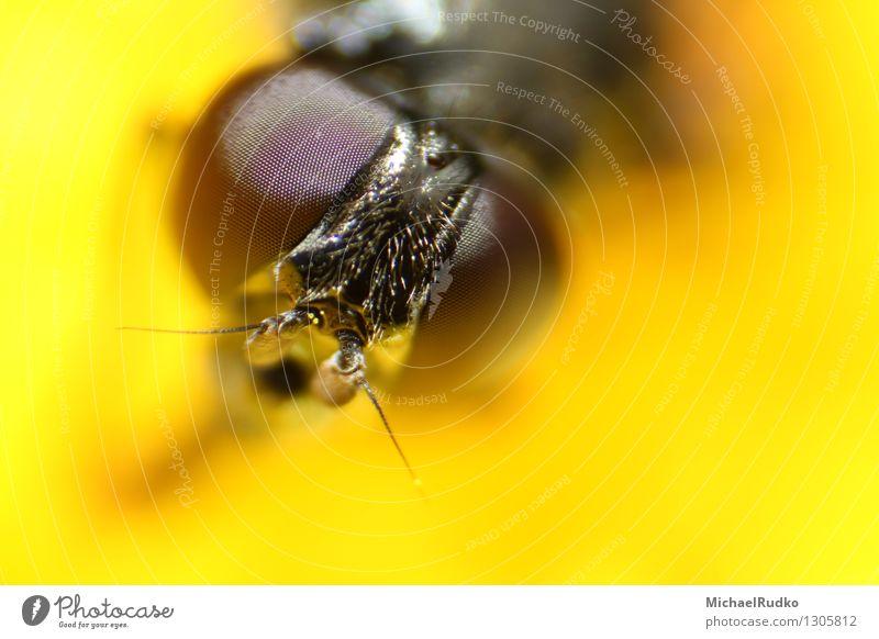 Auge in Auge Tier Wildtier Fliege Tiergesicht Schwebfliege 1 beobachten fliegen Blick Neugier gelb Wachsamkeit Genauigkeit komplex Präzision skurril