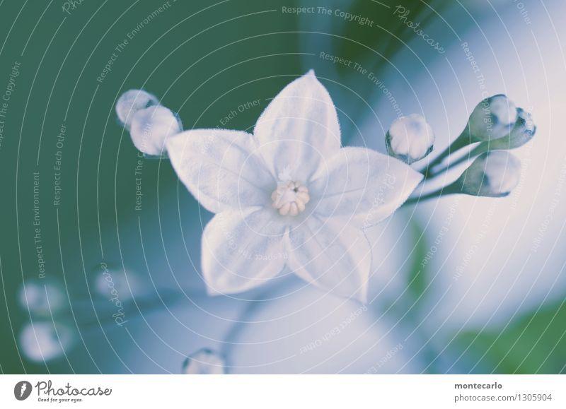 blümchen Umwelt Natur Pflanze Blume Blatt Blüte Grünpflanze Wildpflanze Stempel Duft dünn authentisch einfach Freundlichkeit schön klein nah natürlich wild