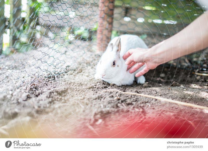 Kuschel the white rabbit Hand Tier Haustier Streichelzoo 1 kuschlig niedlich weich Sympathie Angst Hase & Kaninchen Streicheln Schüchternheit Gehege Erde