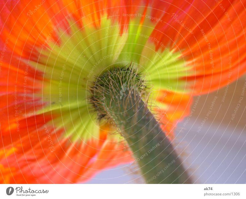 Mohn3 Blume gelb orange Mohn Makroaufnahme
