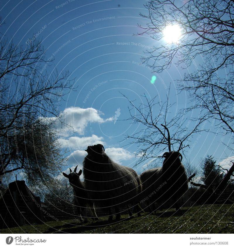 Zickenterror Ziegen Heidschnucke Schaf Säugetier Tier Fell Wolle gefährlich Wolken Gegenlicht Baum 3 Wiese Gras Fressen Zaun Erholung stehen ruhig Wäldchen