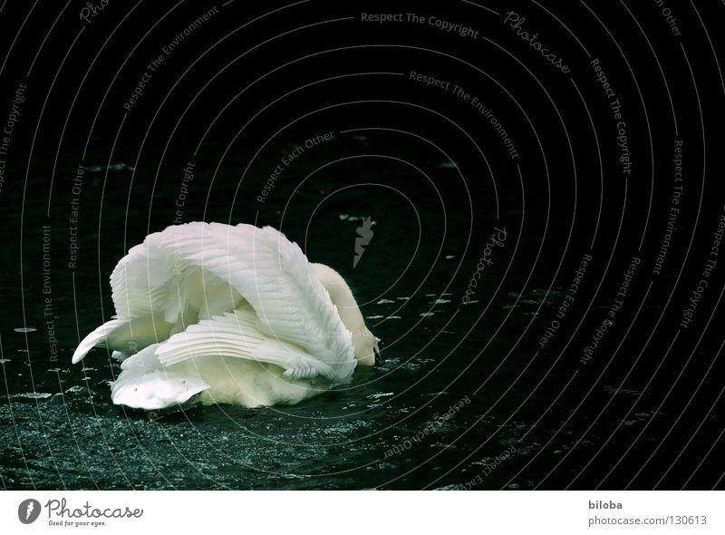Schwanensee Federvieh lang weich Anmut demütig elegant Flügel schwarz weiß Vogel Gischt Gewässer See Brunft anstrengen kämpfen Tier tierisch Hals verneigen