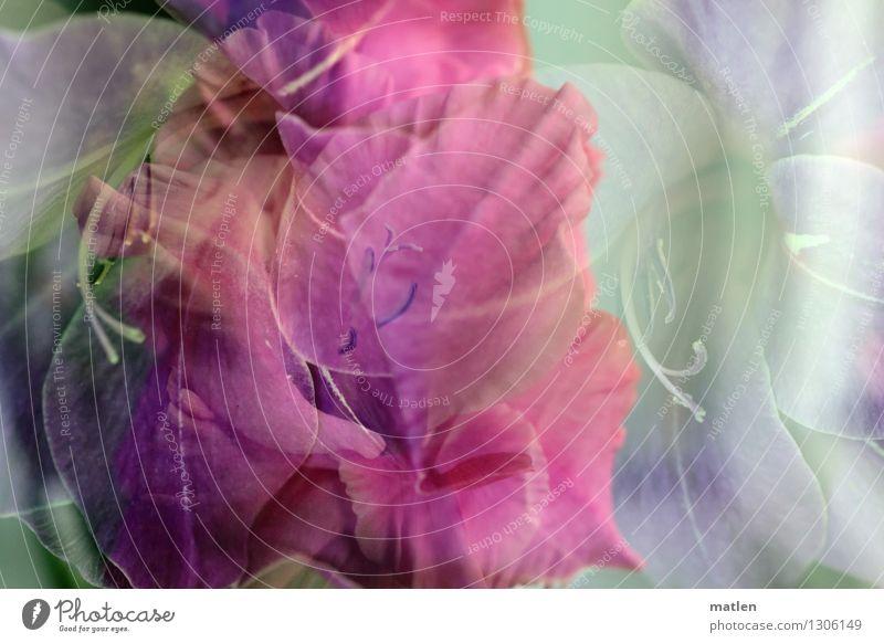 apogée Pflanze grün weiß Blüte Herbst rosa Blühend Doppelbelichtung Gladiolen