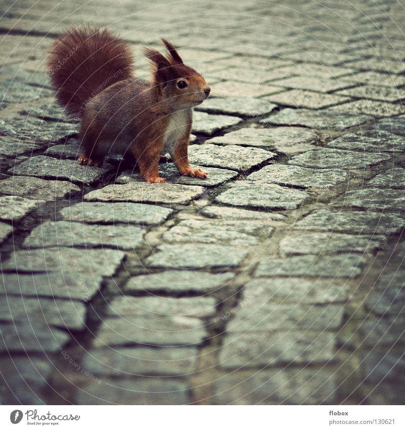 PC mag doch Eichhörnchen Tier Nagetiere braun rot rotbraun Fell zerzaust buschig Schwanz süß klein niedlich Säugetier Freude rotes eichhörnchen