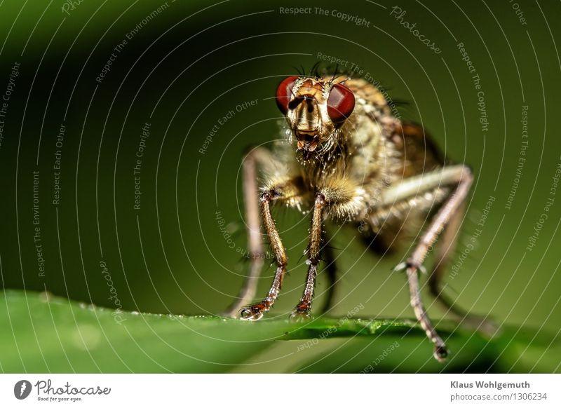 Körperbehaarung Natur Pflanze grün Sommer rot Blatt Tier Wald Umwelt Wiese Garten braun Park Behaarung Fliege sitzen