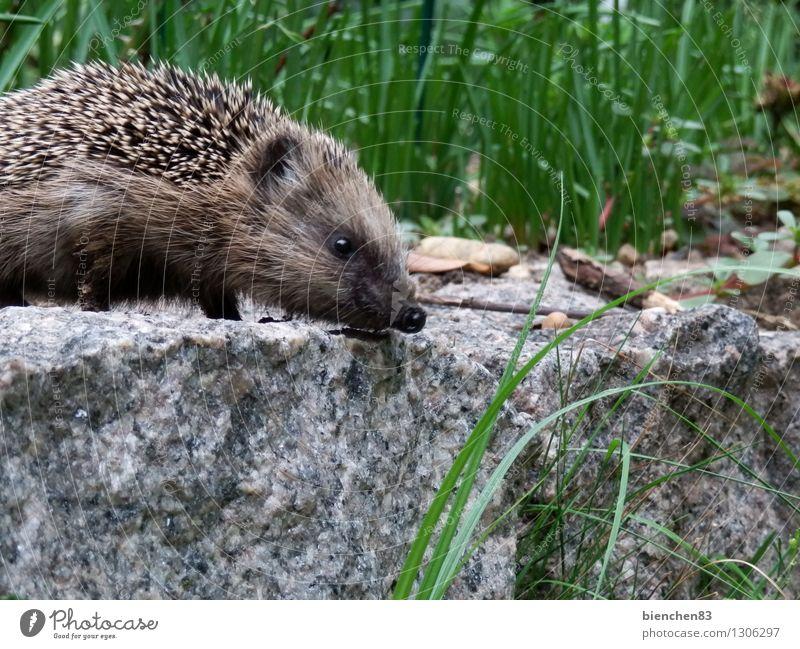 Igelspaziergang Natur grün Sommer weiß Tier Bewegung Gras grau Garten Freiheit außergewöhnlich Stein braun Wildtier laufen niedlich