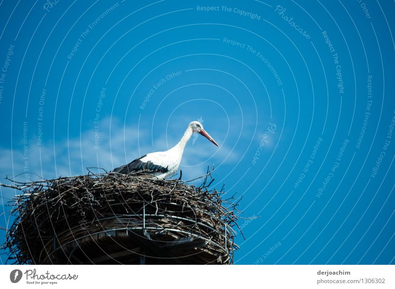 """Begegnung mit einem Storch. In seinem  """"Traumhaus"""" in Adelsdorf. Auf seinem Nest bei Sonnenschein und blauem Himmel. harmonisch Ausflug Sommer Umwelt"""