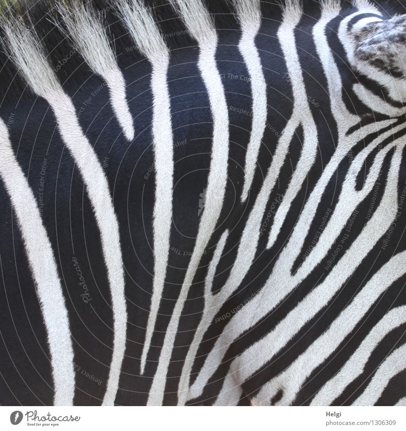 Bodypainting... Natur schön weiß Tier schwarz Leben natürlich Linie Wildtier authentisch stehen ästhetisch Kreativität einzigartig Streifen Fell