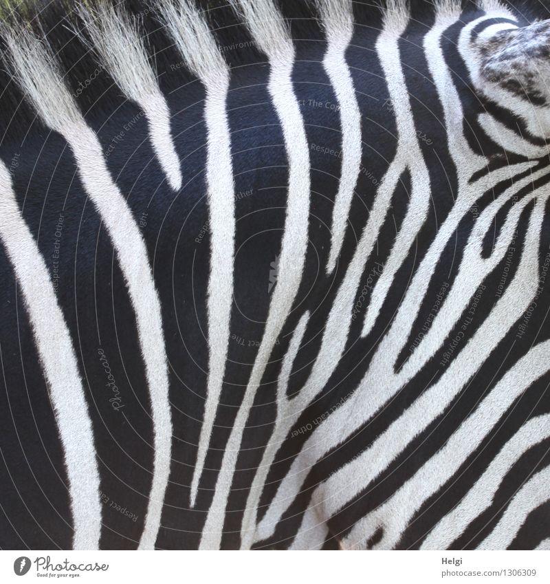 Bodypainting... Tier Wildtier Fell Zoo Zebra 1 Linie Streifen stehen ästhetisch authentisch schön einzigartig natürlich schwarz weiß bizarr Kreativität Leben