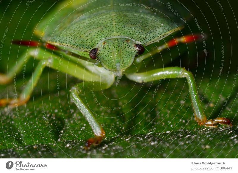 Grünzeug 1 Umwelt Natur Tier Sommer Pflanze Blatt Park Wald Käfer Baumwanze beobachten sitzen warten grün rot schwarz Fühler Facettenauge Farbfoto Außenaufnahme