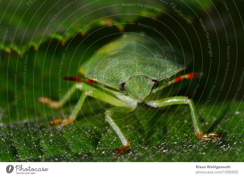 Ich bin eine Nymphe Umwelt Natur Tier Sommer Grünpflanze Wiese Wald Käfer Stinkwanze Insekt 1 krabbeln sitzen gelb grün rot Fühler Facettenauge Farbfoto