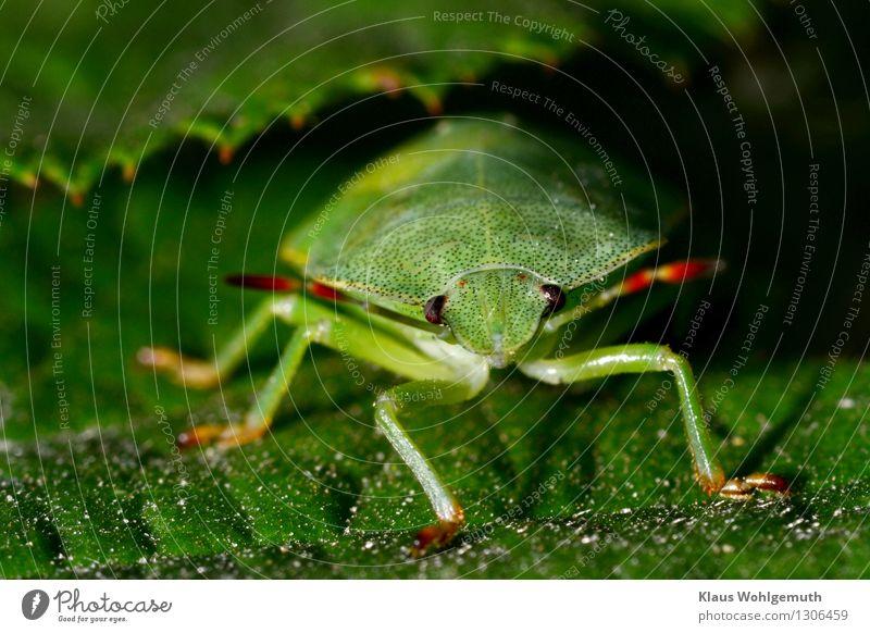 Grünzeug 3 Umwelt Natur Tier Sommer Pflanze Blatt Park Wald Käfer Tiergesicht Baumwanze 1 Blick sitzen warten grün rot schwarz Fühler Facettenauge Farbfoto