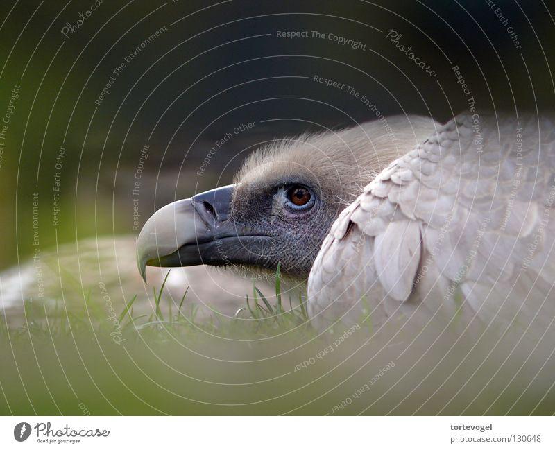 Raubvogel Zoo Gras Trauer Käfig eingeschlossen Vogel Tier Geier Adler Greifvogel eng Außenaufnahme Schnabel Feder Berge u. Gebirge Justizvollzugsanstalt