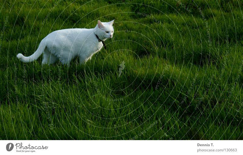 Kleiner weißer Tiger Lebensmittel Ernährung Jagd Natur Pflanze Tier Frühling Gras Wiese Feld Haustier Katze 1 bedrohlich Wut grün gefährlich Risiko Landraubtier