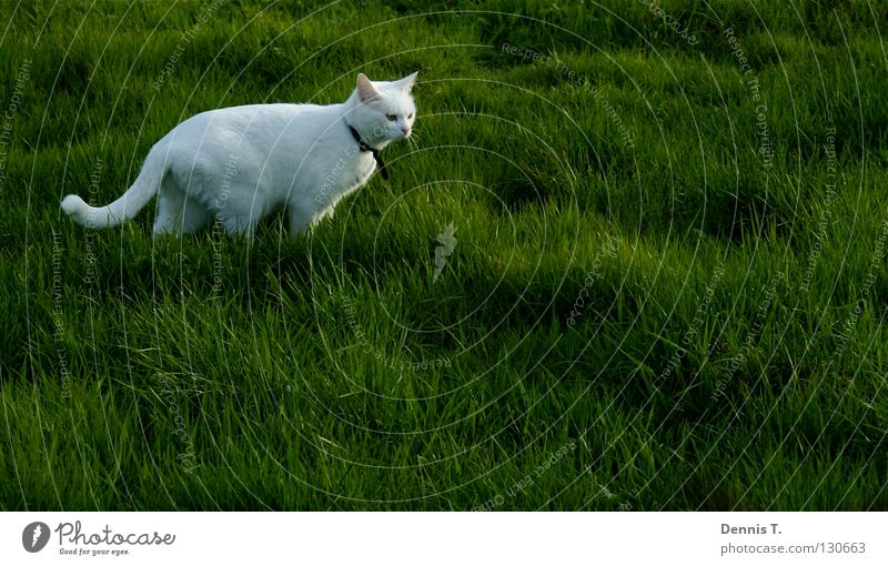 Kleiner weißer Tiger Natur grün Pflanze Tier Wiese Ernährung Katze Gras Lebensmittel Frühling Feld gefährlich bedrohlich Rasen