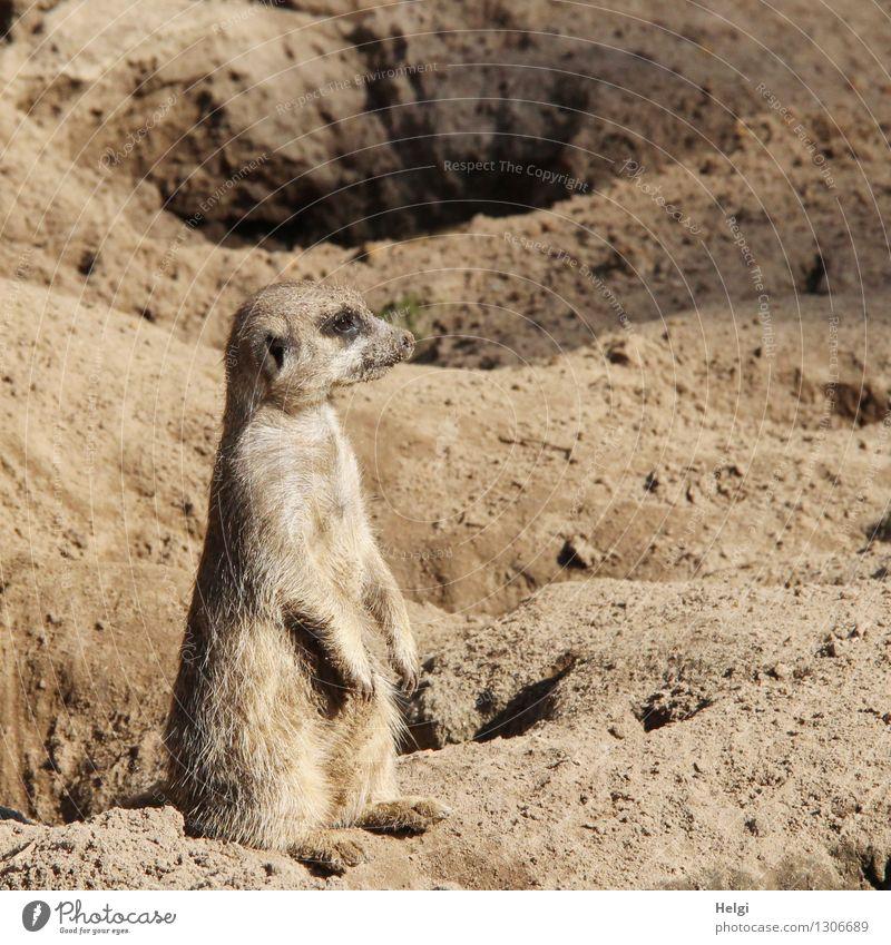 der Höhlenwächter... Natur Tier Sommer Schönes Wetter Wildtier Zoo Erdmännchen 1 Sand beobachten Blick sitzen einzigartig klein natürlich Neugier braun