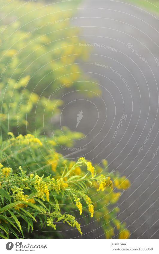 am wegesrand strasse feldweg landstraße gewächs grünzeug pflanze blume blüte gelb asphalt
