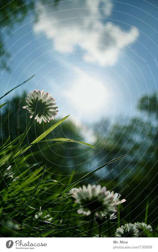 position Gänseblümchen Margerite Aussicht Blume Blüte grell himmelblau Wolken grün Gras Wachstum himmlisch Halm Blütenblatt Stimmung schlechtes Wetter Park