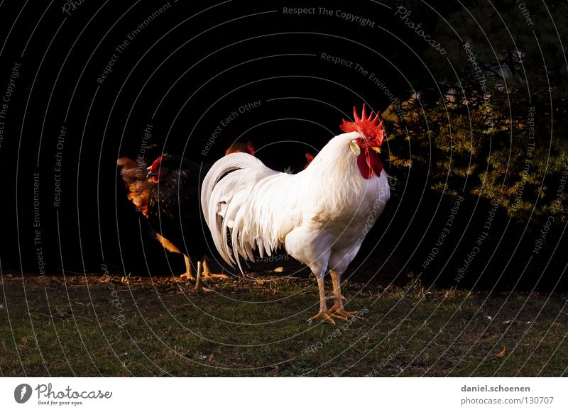 der Chef Hahn Haushuhn Vorgesetzter maskulin rot weiß schwarz Allüren beeindruckend Schnabel Silhouette Haustier Tier Nutztier Vogel Kraft imponieren Feder