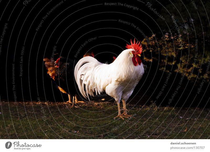der Chef weiß rot Tier schwarz Vogel Kraft maskulin Kraft Feder Haustier Schnabel Haushuhn Nutztier Vorgesetzter beeindruckend Hahn