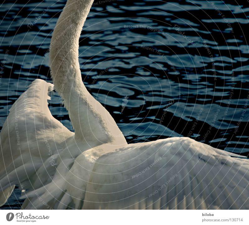 Kopflos durch die Gegend irren Wasser weiß Tier schwarz See Vogel Wellen Kraft Angst fliegen Arme groß elegant Feder Flügel