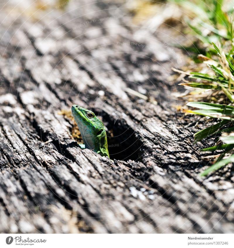 Neugier.... Natur Tier Sommer Gras Wildtier 1 Holz beobachten exotisch skurril Reptil Echte Eidechsen Zauneidechse Höhlenwohnung Erdhöhle Farbfoto Außenaufnahme